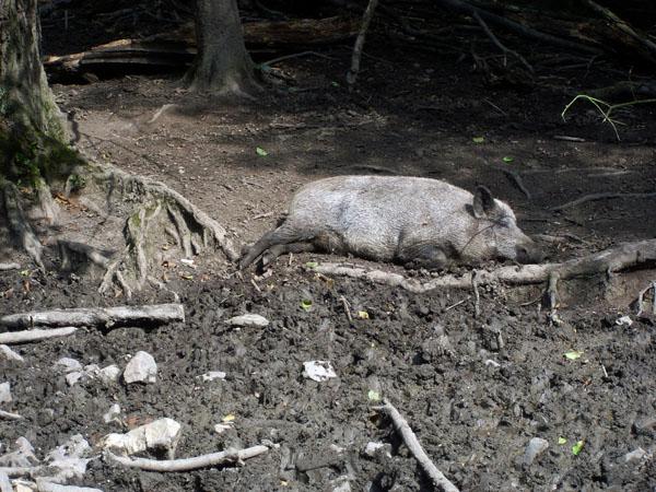 Wildpark Leipzig Wildschweine