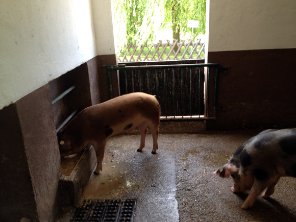 haustierfarm leipzig schweine