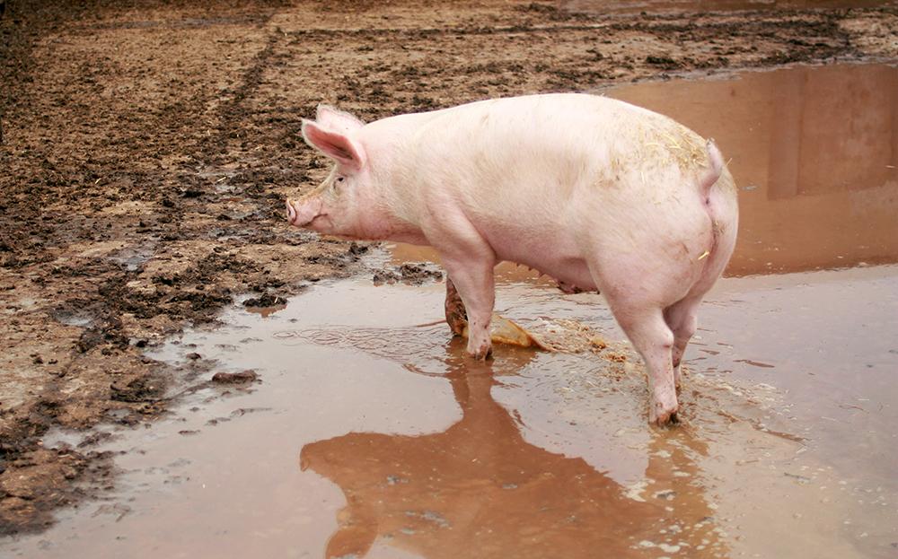 hahns hof schweine